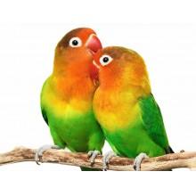 AGAPORNIS / DWERGPAPEGAAI - diverse kleuren