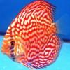 Tropische-koudwatervissen